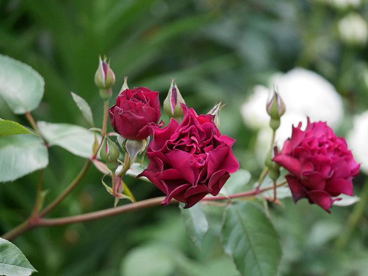 ライラ(Laylah)の残っていた花が咲いた。半ツルバラ。2020年-020.jpg