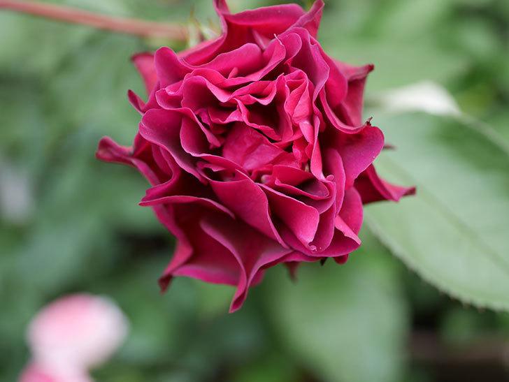 ライラ(Laylah)の残っていた花が咲いた。半ツルバラ。2020年-022.jpg