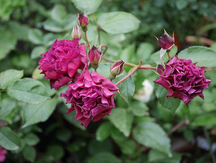 ライラ(Laylah)の残っていた花が房で咲いた。半ツルバラ。2020年-007.jpg