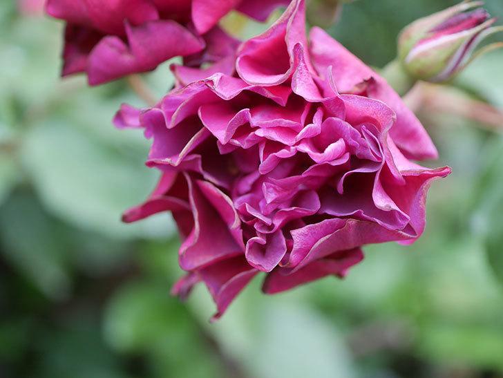 ライラ(Laylah)の残っていた花が房で咲いた。半ツルバラ。2020年-009.jpg
