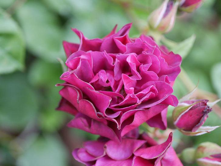ライラ(Laylah)の残っていた花が房で咲いた。半ツルバラ。2020年-010.jpg
