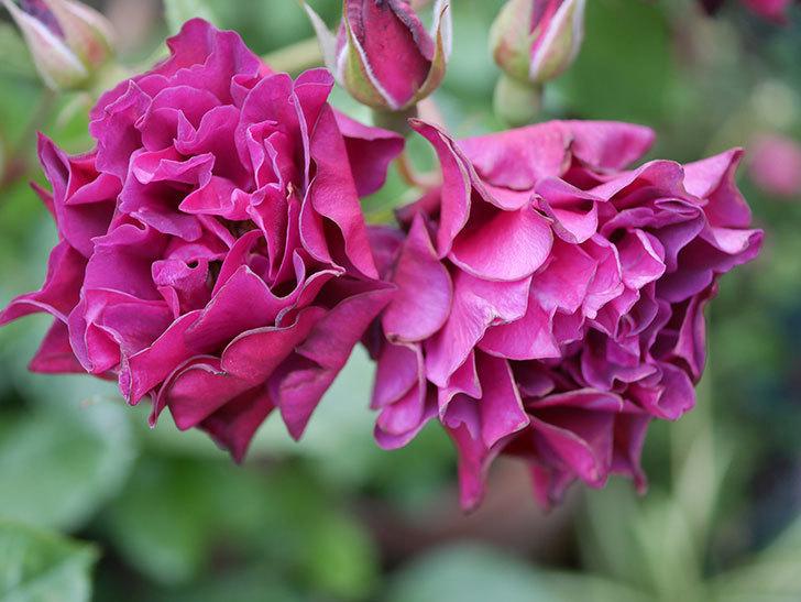 ライラ(Laylah)の残っていた花が房で咲いた。半ツルバラ。2020年-011.jpg