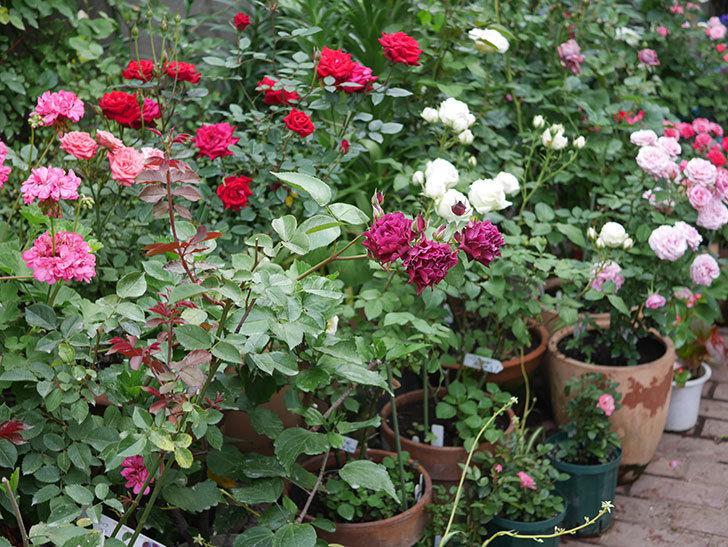 ライラ(Laylah)の残っていた花が房で咲いた。半ツルバラ。2020年-012.jpg