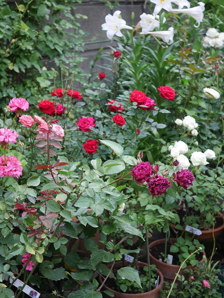 ライラ(Laylah)の残っていた花が房で咲いた。半ツルバラ。2020年-013.jpg