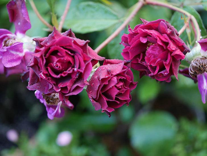 ライラ(Laylah)の残っていた花が房で咲いた。半ツルバラ。2020年-016.jpg