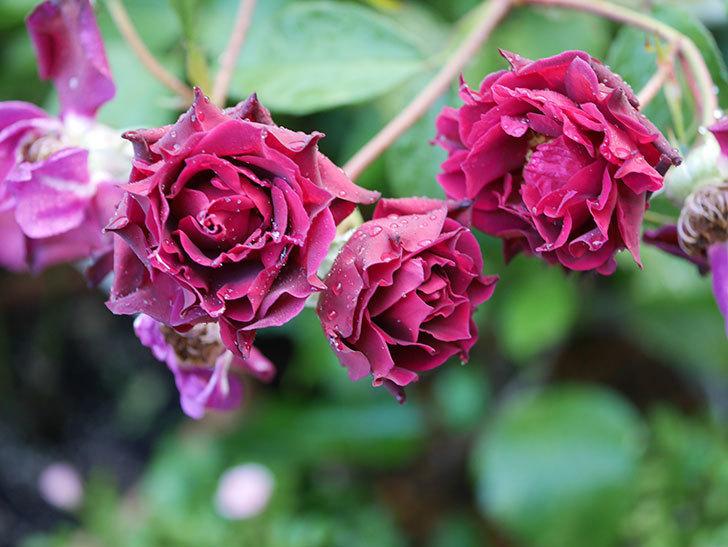 ライラ(Laylah)の残っていた花が房で咲いた。半ツルバラ。2020年-017.jpg