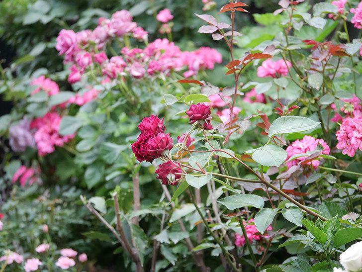 ライラ(Laylah)の残っていた花が房で咲いた。半ツルバラ。2020年-023.jpg