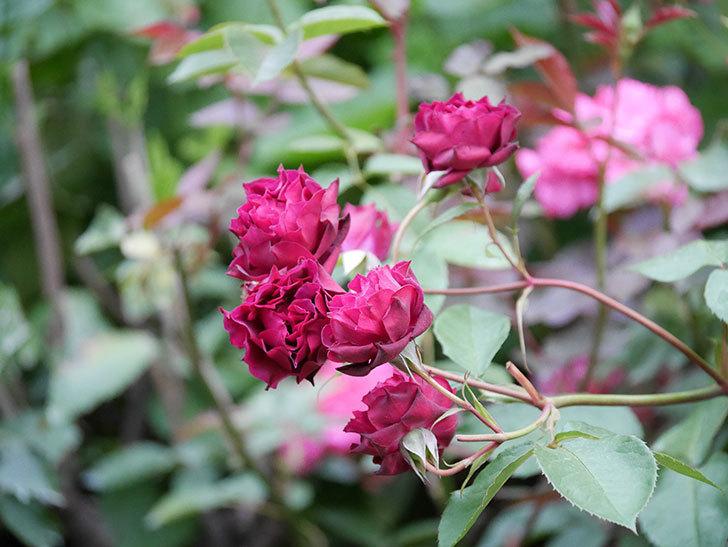 ライラ(Laylah)の残っていた花が房で咲いた。半ツルバラ。2020年-027.jpg