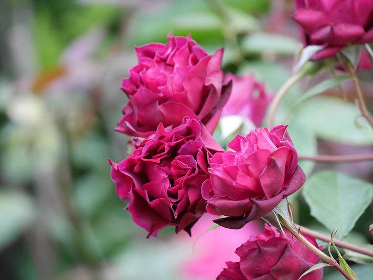 ライラ(Laylah)の残っていた花が房で咲いた。半ツルバラ。2020年-028.jpg