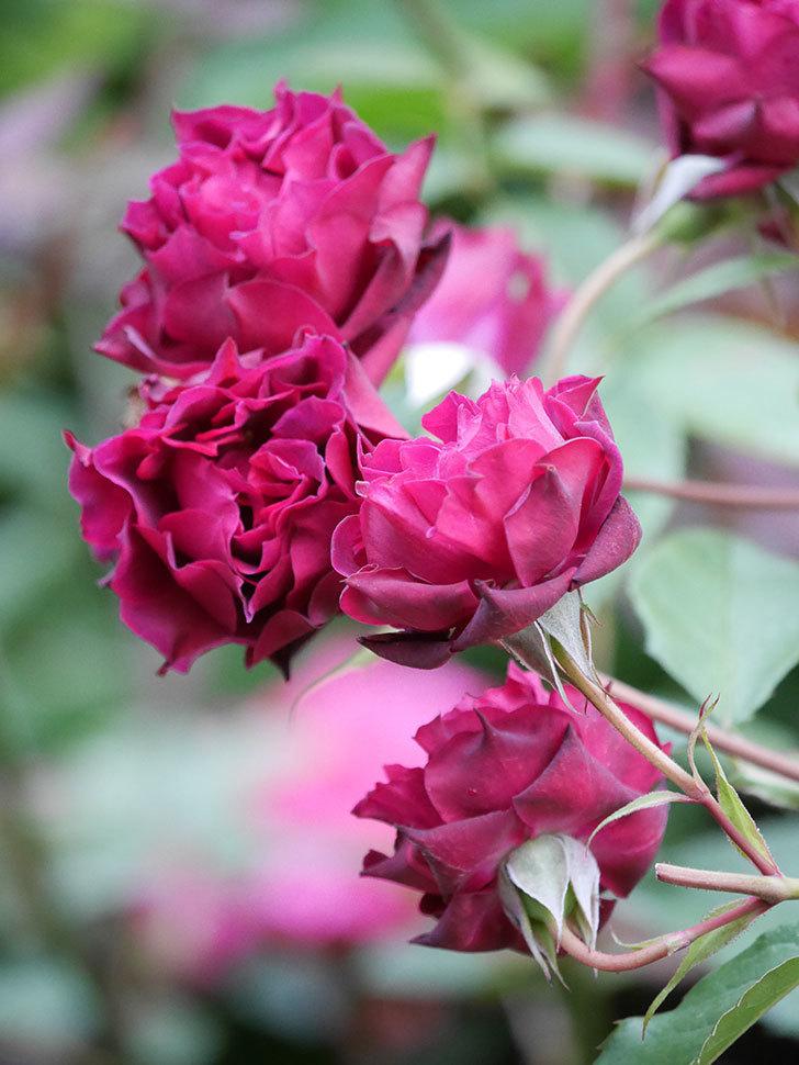 ライラ(Laylah)の残っていた花が房で咲いた。半ツルバラ。2020年-029.jpg
