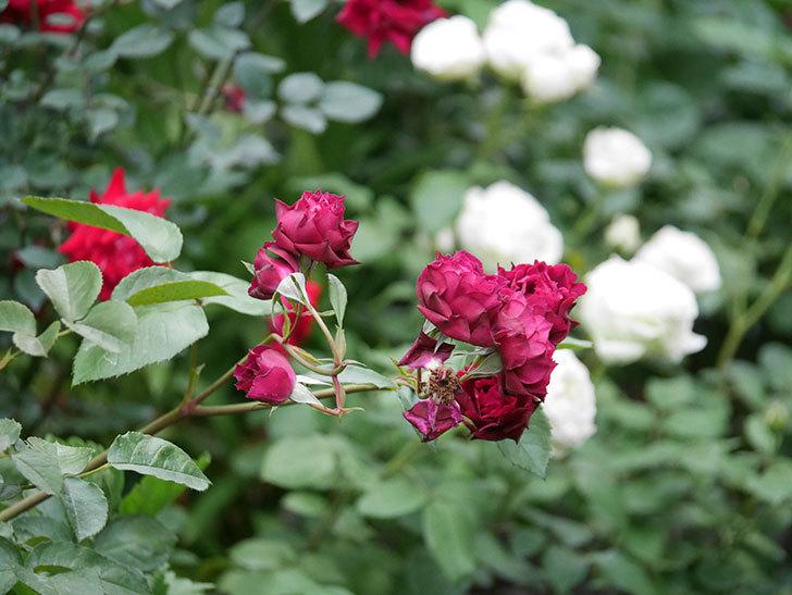 ライラ(Laylah)の残っていた花が房で咲いた。半ツルバラ。2020年-030.jpg