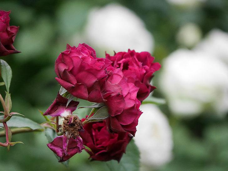 ライラ(Laylah)の残っていた花が房で咲いた。半ツルバラ。2020年-031.jpg