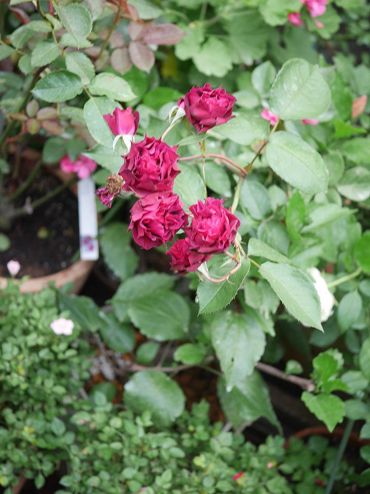 ライラ(Laylah)の残っていた花が房で咲いた。半ツルバラ。2020年-033.jpg