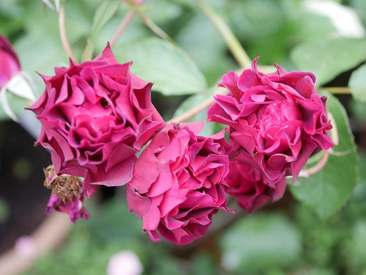 ライラ(Laylah)の残っていた花が房で咲いた。半ツルバラ。2020年-034.jpg