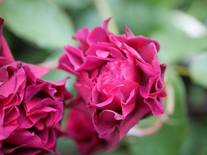 ライラ(Laylah)の残っていた花が房で咲いた。半ツルバラ。2020年-035.jpg