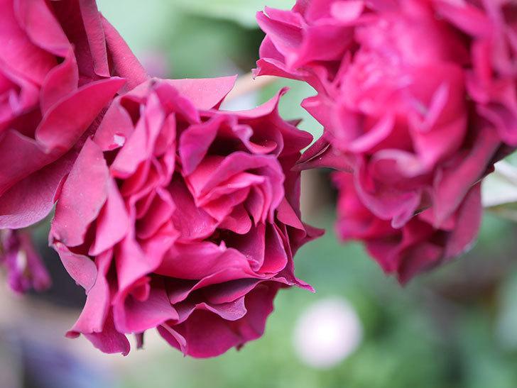 ライラ(Laylah)の残っていた花が房で咲いた。半ツルバラ。2020年-036.jpg