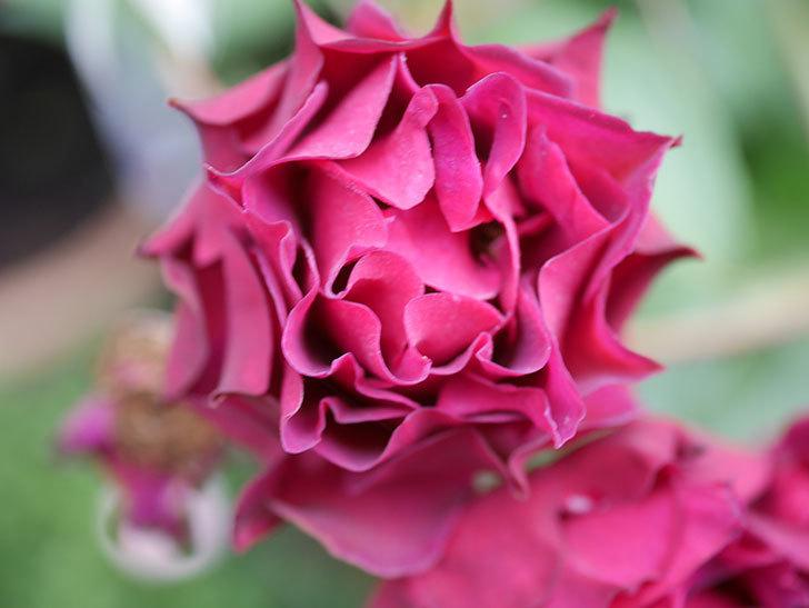 ライラ(Laylah)の残っていた花が房で咲いた。半ツルバラ。2020年-037.jpg