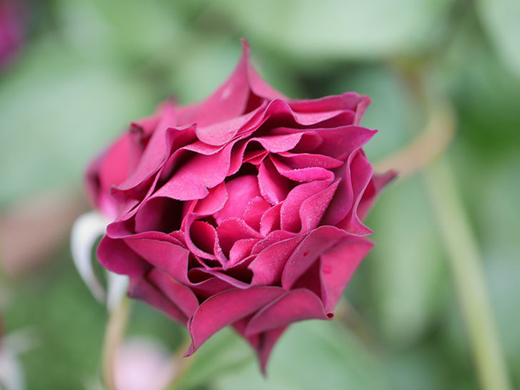 ライラ(Laylah)の残っていた花が房で咲いた。半ツルバラ。2020年-038.jpg