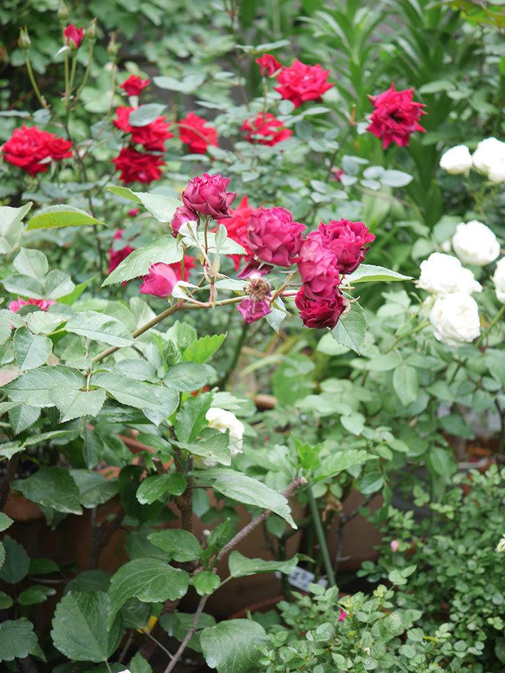 ライラ(Laylah)の残っていた花が房で咲いた。半ツルバラ。2020年-042.jpg