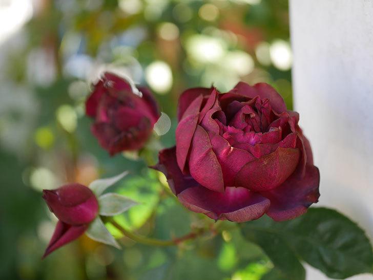 ライラ(Laylah)の秋花がまた咲いた。半ツルバラ。2020年-001.jpg