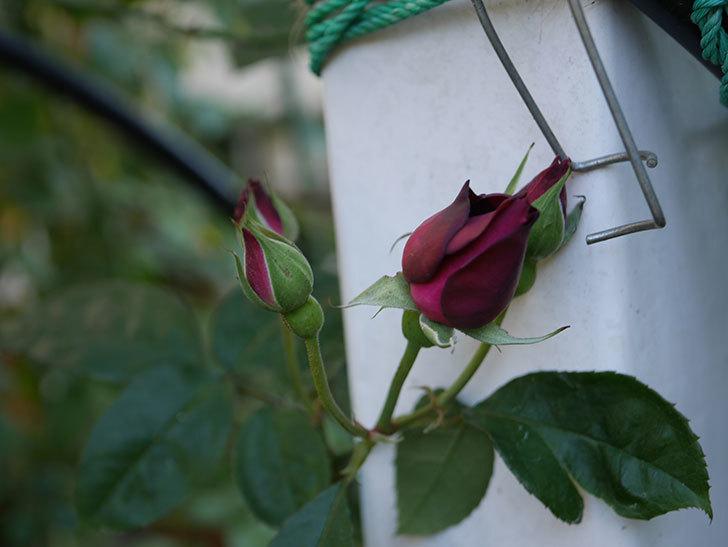 ライラ(Laylah)の秋花が咲いた。半ツルバラ。2020年-001.jpg