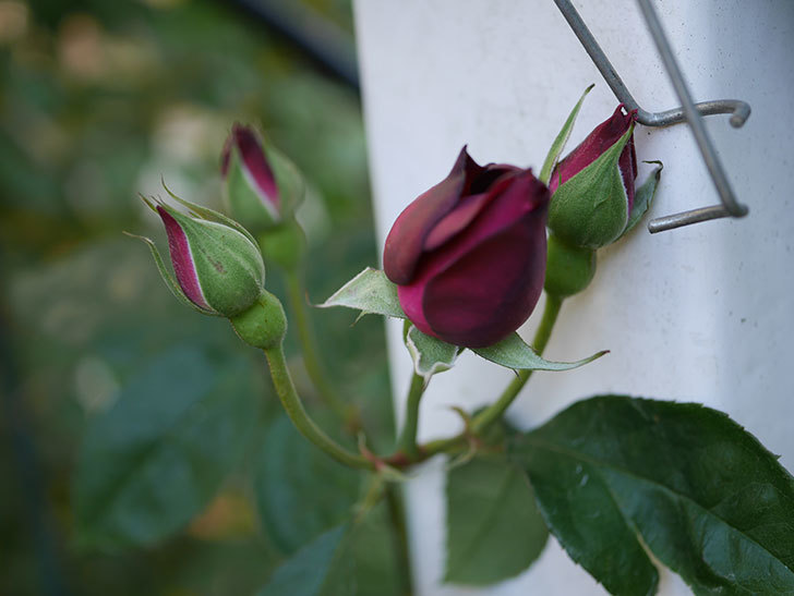 ライラ(Laylah)の秋花が咲いた。半ツルバラ。2020年-003.jpg