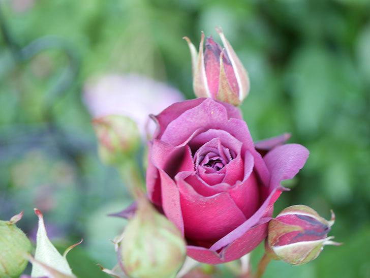 ライラ(Laylah)の花がたくさん咲いた。半ツルバラ。2021年-008.jpg
