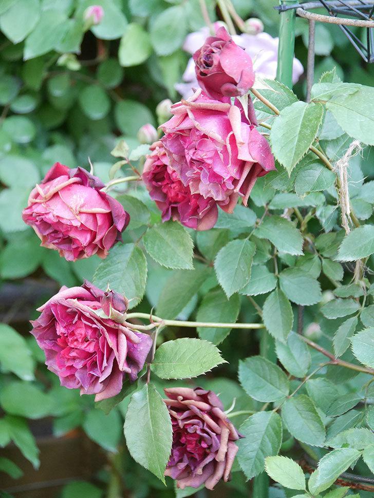 ライラ(Laylah)の花がたくさん咲いた。半ツルバラ。2021年-017.jpg