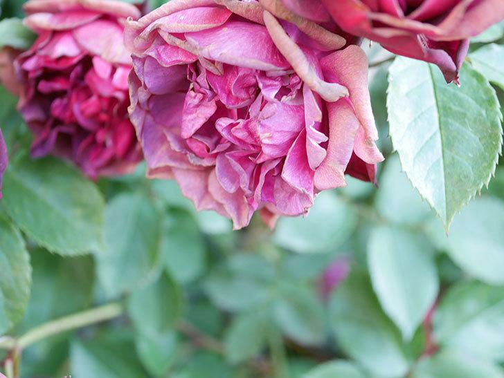 ライラ(Laylah)の花がたくさん咲いた。半ツルバラ。2021年-028.jpg