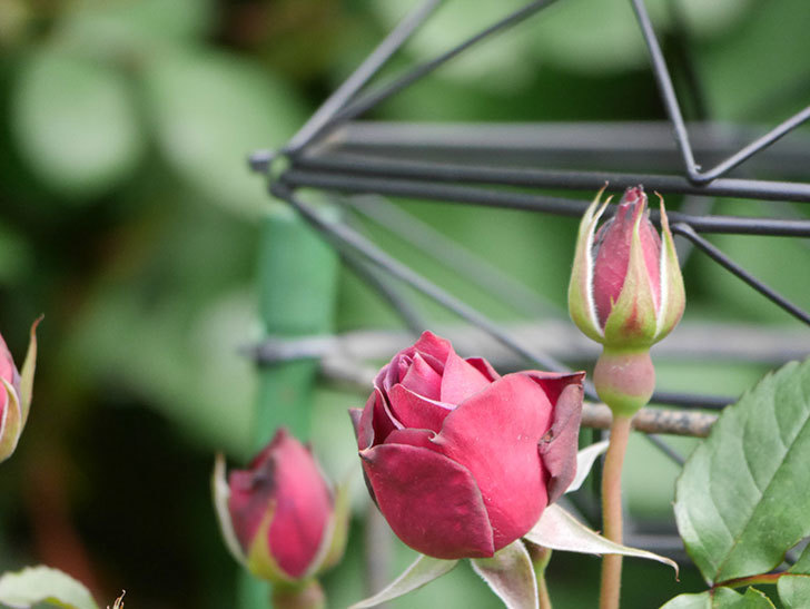 ライラ(Laylah)の花が咲きだした。半ツルバラ。2021年-004.jpg