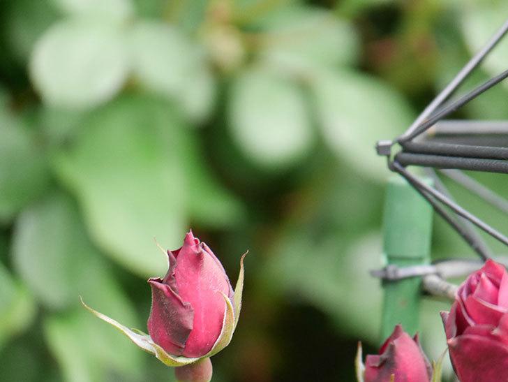 ライラ(Laylah)の花が咲きだした。半ツルバラ。2021年-007.jpg