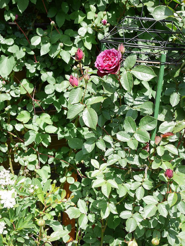 ライラ(Laylah)の花が咲きだした。半ツルバラ。2021年-020.jpg