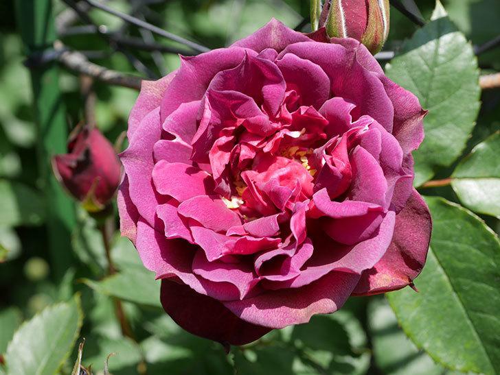 ライラ(Laylah)の花が咲きだした。半ツルバラ。2021年-021.jpg