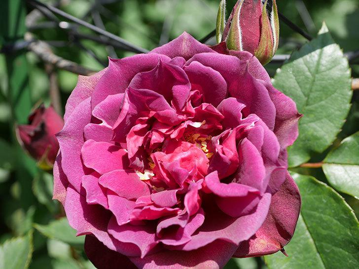 ライラ(Laylah)の花が咲きだした。半ツルバラ。2021年-022.jpg