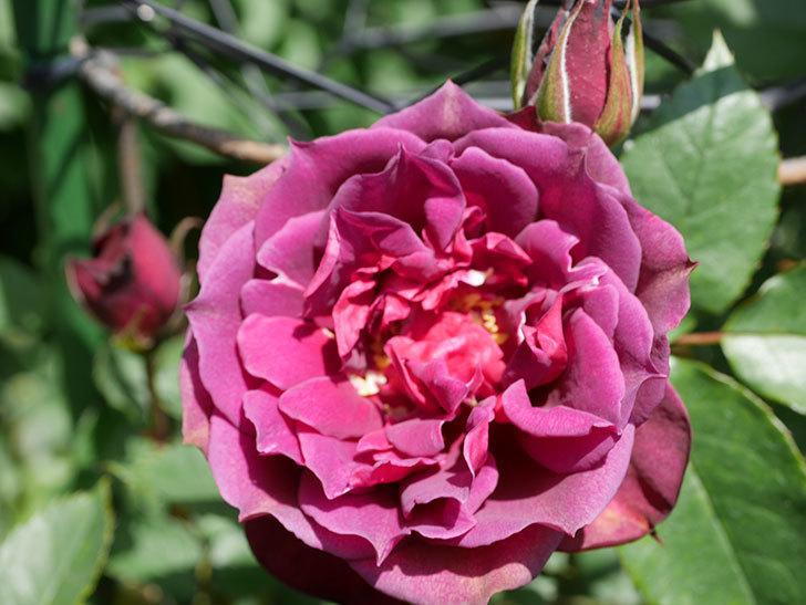ライラ(Laylah)の花が咲きだした。半ツルバラ。2021年-023.jpg