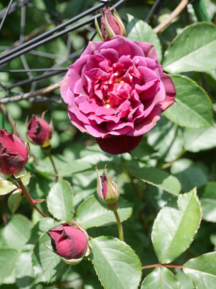 ライラ(Laylah)の花が咲きだした。半ツルバラ。2021年-024.jpg