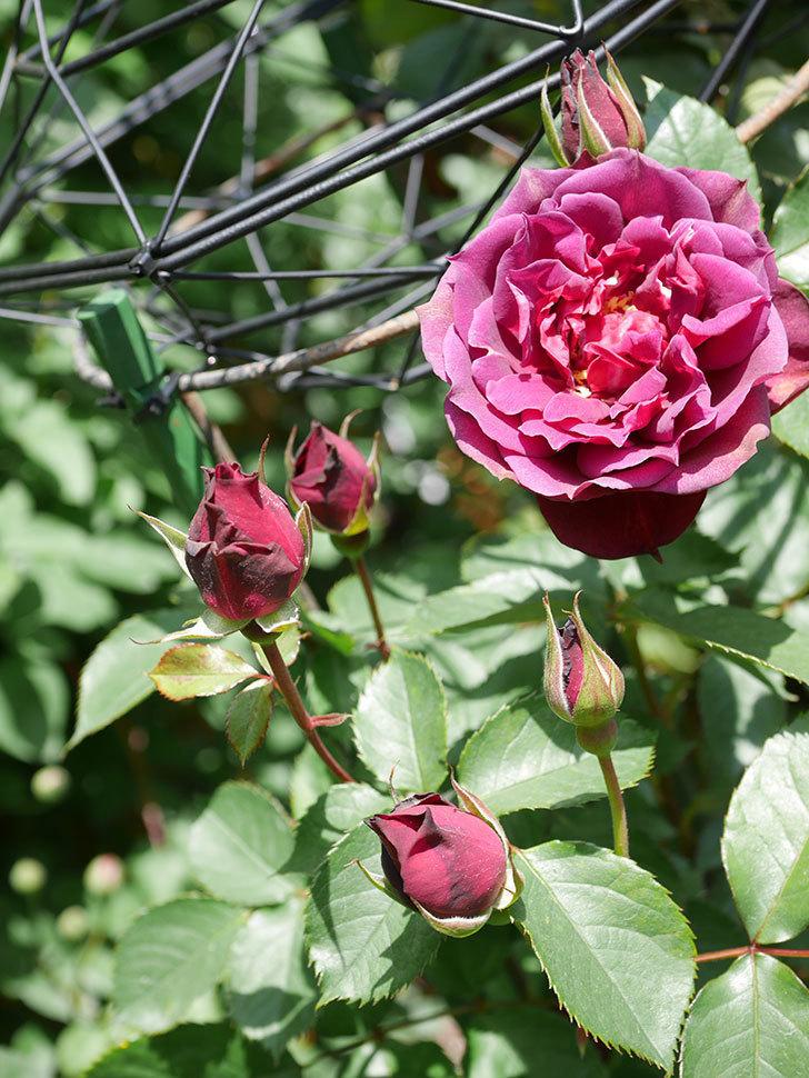 ライラ(Laylah)の花が咲きだした。半ツルバラ。2021年-025.jpg