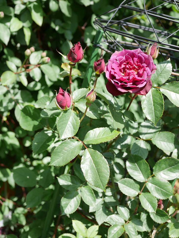ライラ(Laylah)の花が咲きだした。半ツルバラ。2021年-026.jpg