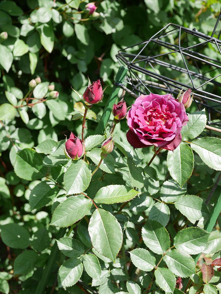 ライラ(Laylah)の花が咲きだした。半ツルバラ。2021年-027.jpg