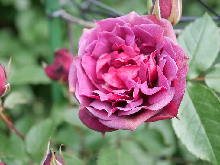 ライラ(Laylah)の花が増えてきた。半ツルバラ。2021年-001.jpg