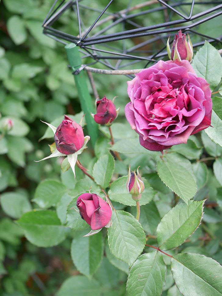 ライラ(Laylah)の花が増えてきた。半ツルバラ。2021年-003.jpg