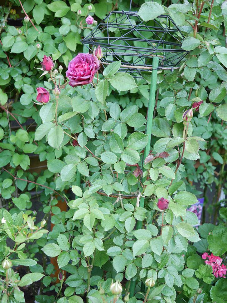ライラ(Laylah)の花が増えてきた。半ツルバラ。2021年-005.jpg