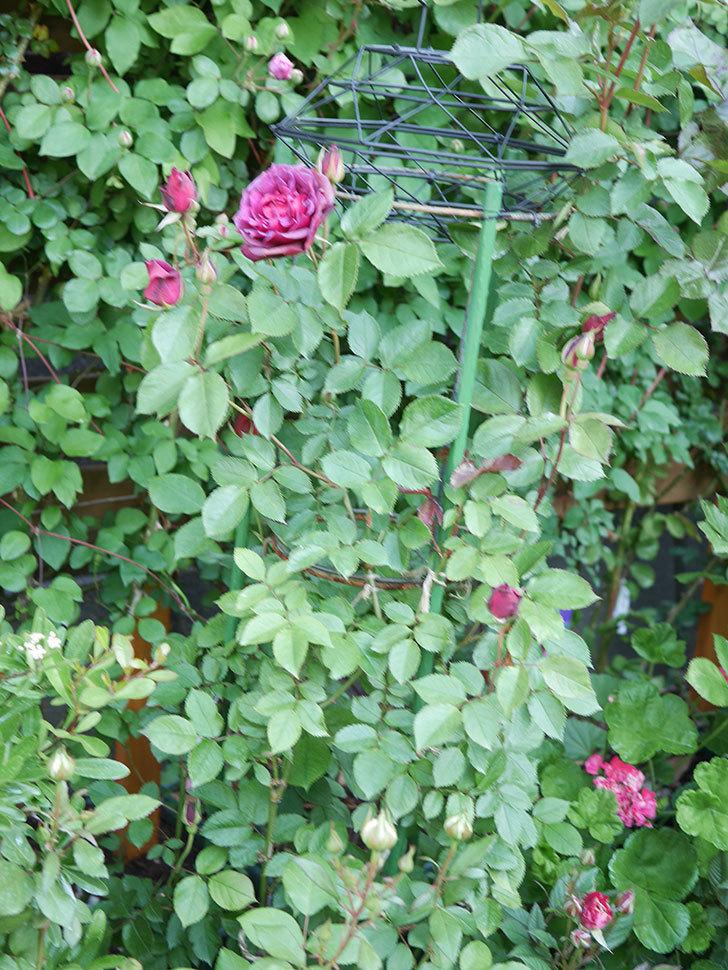 ライラ(Laylah)の花が増えてきた。半ツルバラ。2021年-006.jpg