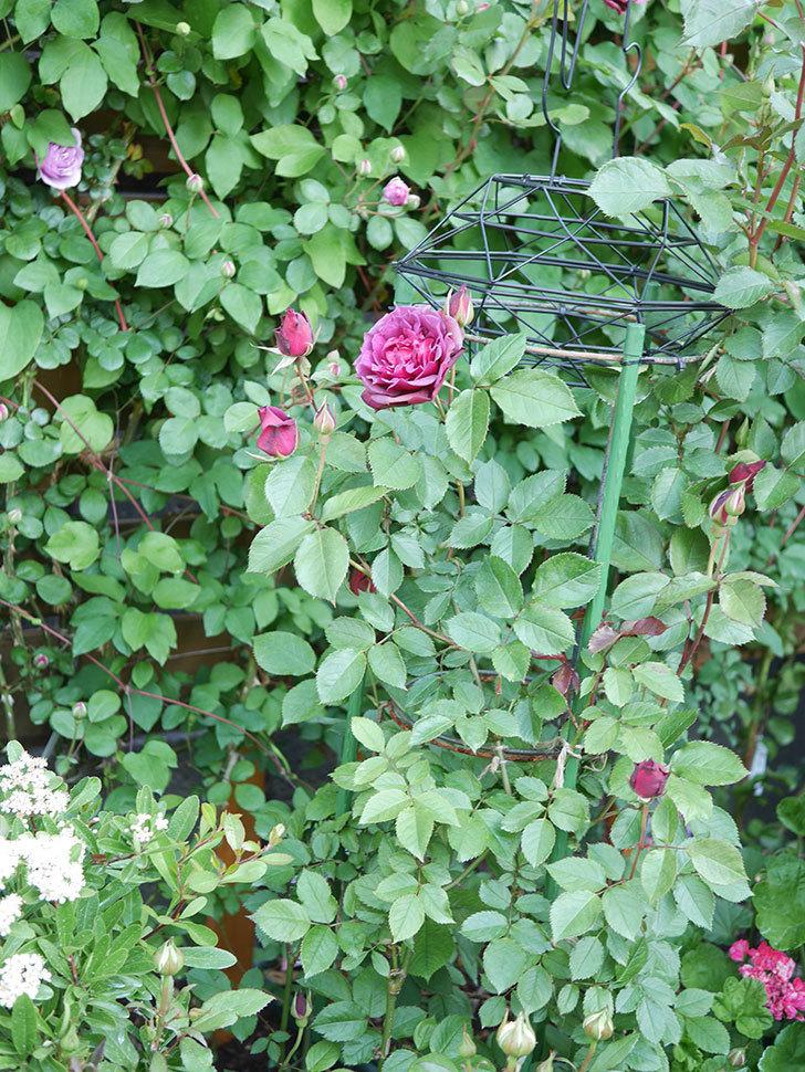 ライラ(Laylah)の花が増えてきた。半ツルバラ。2021年-007.jpg