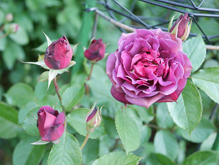 ライラ(Laylah)の花が増えてきた。半ツルバラ。2021年-008.jpg