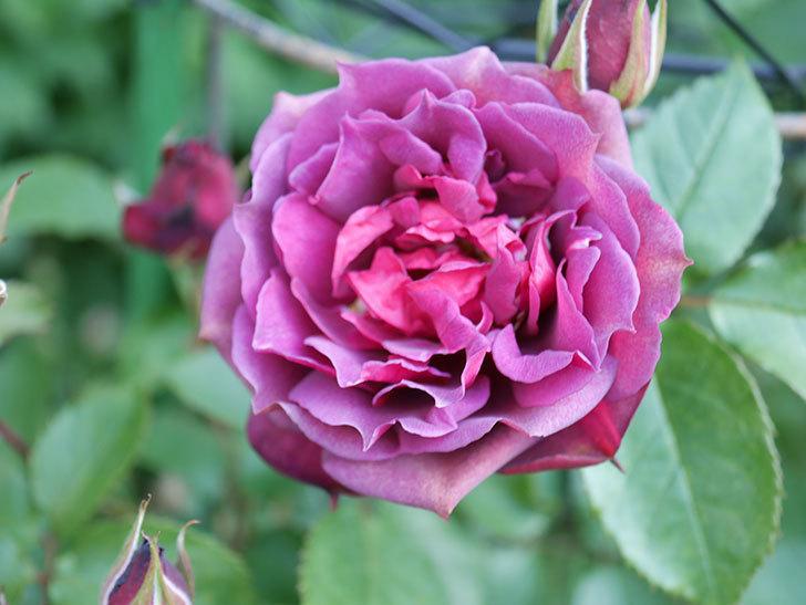 ライラ(Laylah)の花が増えてきた。半ツルバラ。2021年-009.jpg