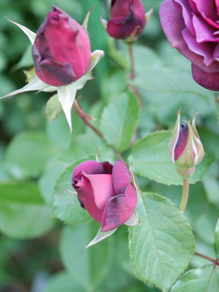 ライラ(Laylah)の花が増えてきた。半ツルバラ。2021年-010.jpg