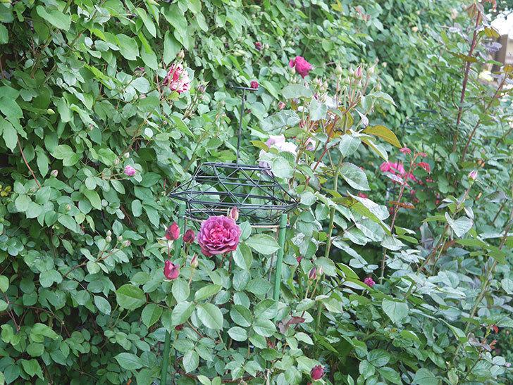 ライラ(Laylah)の花が増えてきた。半ツルバラ。2021年-014.jpg