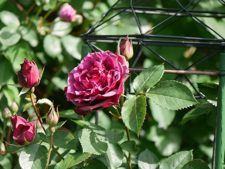 ライラ(Laylah)の花が増えてきた。半ツルバラ。2021年-015.jpg
