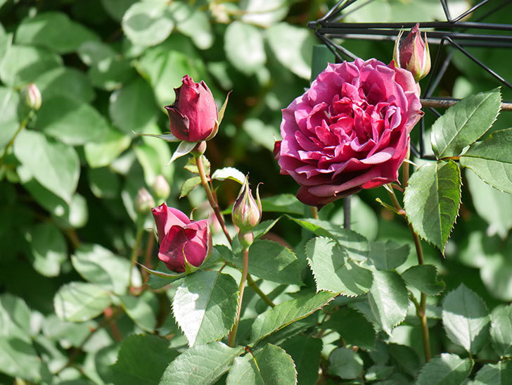 ライラ(Laylah)の花が増えてきた。半ツルバラ。2021年-016.jpg